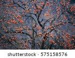 The Persimmon Tree Full Bore I...