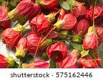 beautiful red flowers of mallow ... | Shutterstock . vector #575162446