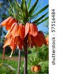 Orange Crown Imperial Big...