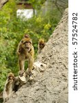 A Male Of Barbary Macaque ...