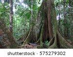 trunk of a majestic ceiba.... | Shutterstock . vector #575279302