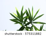 bamboo leave on the white... | Shutterstock . vector #575311882
