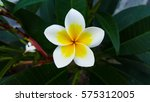plumeria flower like the stars | Shutterstock . vector #575312005