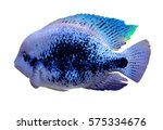 Aquarium Cichlid Fish. Cichlid...