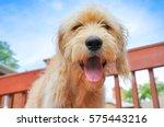 Stock photo happy goldendoodle puppy 575443216