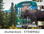 moose has right of way  denali... | Shutterstock . vector #575489062
