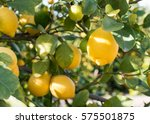Close Up Of Lemons Hanging Fro...