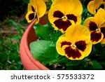 Viola Tricolor Large Yellow...