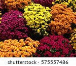colorful fall mums in bloom  in ... | Shutterstock . vector #575557486