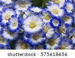 Pericallis Flowers Blue