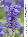 Small photo of Blooming blue bugleweeds Ajuga in the summer meadow