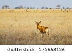 Small photo of Coke's hartebeest (Alcelaphus buselaphus cokii). Tsavo East park