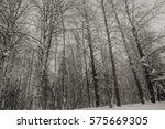 alaskan winter birch trees | Shutterstock . vector #575669305
