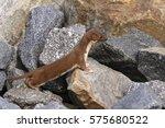 Weasel Mustela Nivalis Hunting