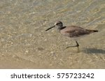 Sandpiper Wading Along In The...