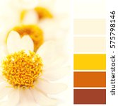 Small photo of African daisy, color palette