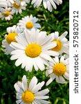 daisy field background | Shutterstock . vector #575820712