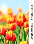 red  orange tulips blurred... | Shutterstock . vector #575836516