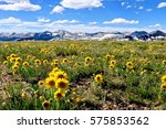 Yellow flowers in alpine meadows and snowy mountains on Independence Pass. Aspen. Denver. Colorado. United States. - stock photo