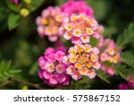 flowers in the garden colorful... | Shutterstock . vector #575867152