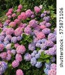 Bulk Of Hortensia Flowers
