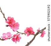 sakura japan cherry branch with ...   Shutterstock . vector #575902192