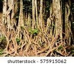 ficus   Shutterstock . vector #575915062