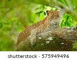 leopard in green vegetation.... | Shutterstock . vector #575949496
