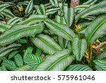 calathea ornata   striped leaves | Shutterstock . vector #575961046