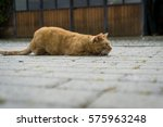 Stock photo cat ready for the attack 575963248