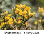 Common Gorse Or Ulex Europaeus