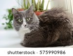 smart grey white fluffy cat...   Shutterstock . vector #575990986
