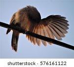 Small photo of Jungle Babbler