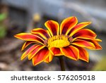 Yellow And Red Gazania Flower