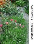 pink rosa odorata and lavender... | Shutterstock . vector #576210592