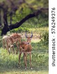 Small photo of A herd of male impala, Aepyceros melampus, standing in the vegetation in National Park, Tanzania