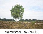 Birch Trees In Heath Landscape...