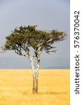 Small photo of Lone Acacia Tree