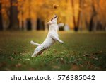 Stock photo autumn mood jack russell terrier dog with leaves gold and red color walk in the park jumping 576385042