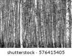 birch forest background  black... | Shutterstock . vector #576415405