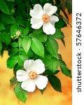 White Rosa Bloom