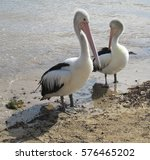 Pelicans On Seashore Waiting T...