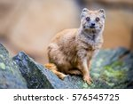 View Of The Yellow Mongoose