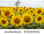 Sunflower In A Row