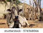 Cow Of Desert Village Is...