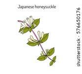 Japanese Honeysuckle  Lonicera...