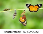 Isolated male leopard lacewing  ...
