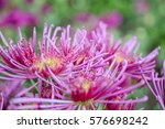 close up of purple... | Shutterstock . vector #576698242
