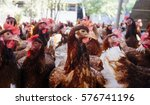 industrial chicken hen for egg... | Shutterstock . vector #576741196