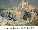 Small photo of baby bengal tiger wantonly in Basket